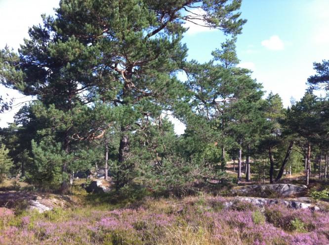 """Vårt """"vårdträd"""" som numera är brandskadat, och all ljung som färgar tomten lila i augusti och september"""