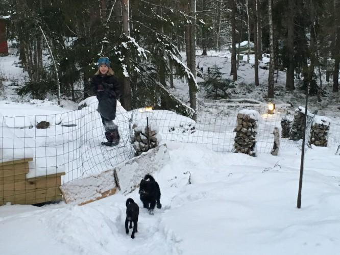 Pulkaåkning på den egna tomten (och hundbus på andra sidan de tillfälliga staketet).