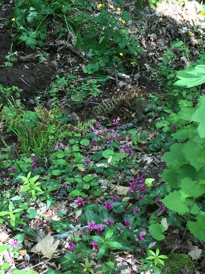 Blomsterprakt i skogen, Barbarossa 16/4-2017