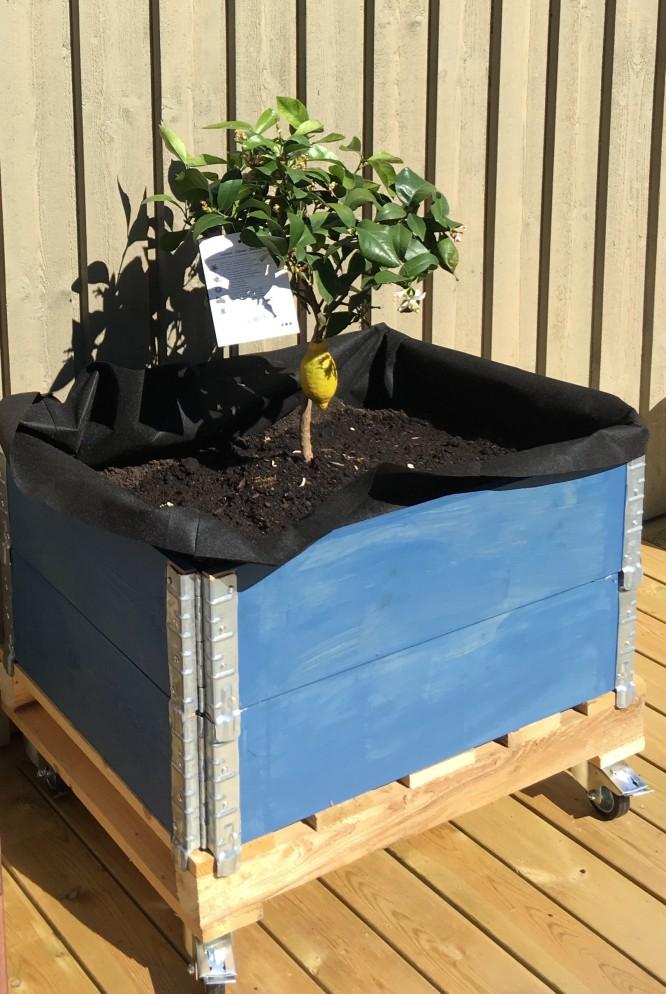 Mitt underbara citronträd som just nu ser pyttelitet ut, men som förhoppningsvis kommer stortrivas i sin nya miljö.