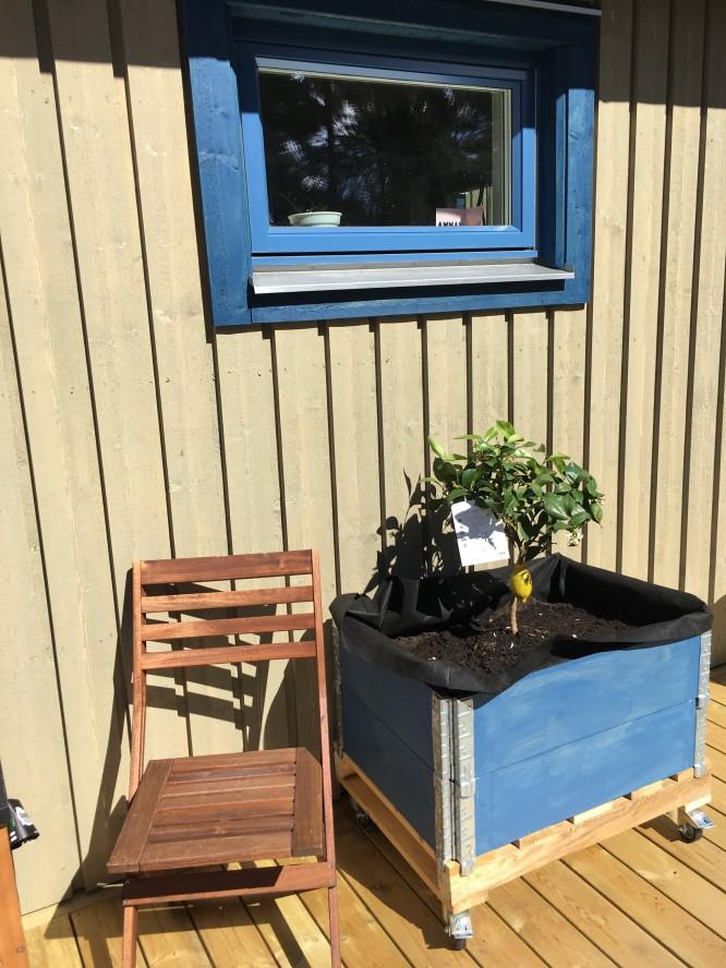 Mitt citronträd har nu fått sin plats på vår altan!