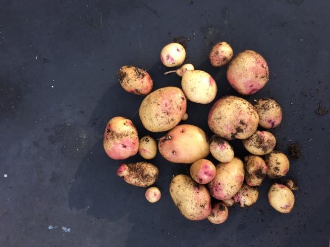 Egna potatis; små och stora, korta och tjocka, långa och smala.