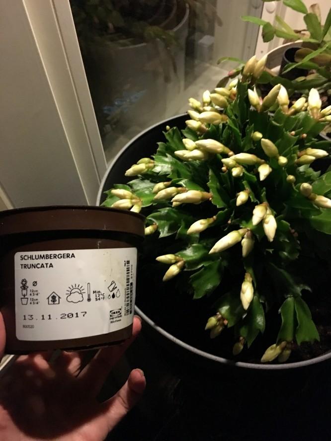 Julkaktus (eller egentligen Novemberkaktus), Schlumbergera truncata, från IKEA 39kr