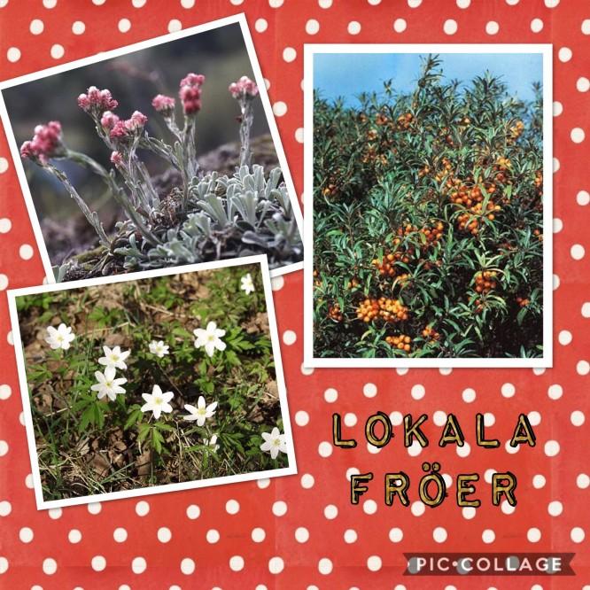 Växter som växer vilt i Stockholms skärgård; Kattfot, Havtorn och Vitsippa.