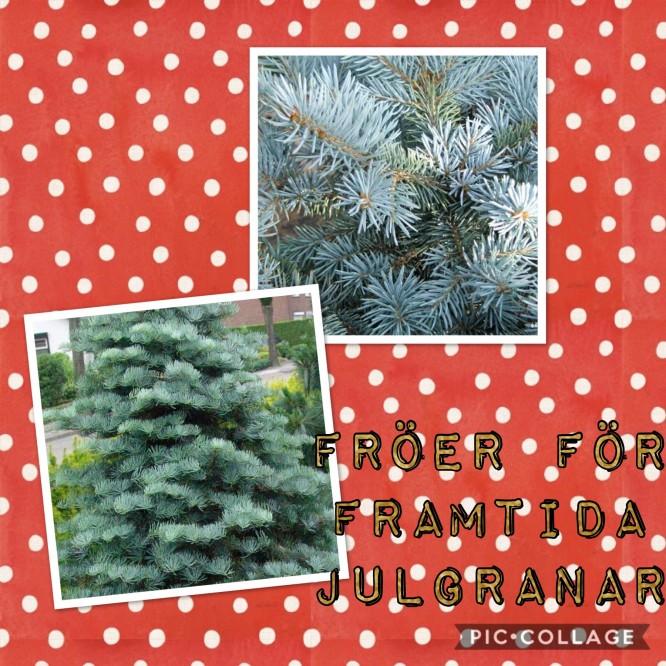Framtida julgranar? Coloradogran & Blågran