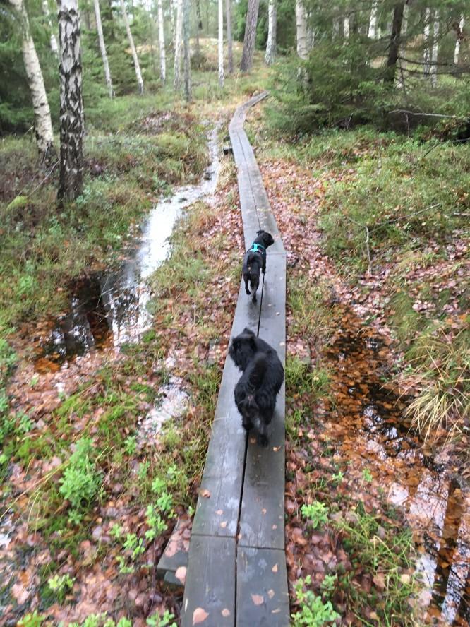 Långa promenader i skogen med hundarna är en viktig del i återhämtningen.